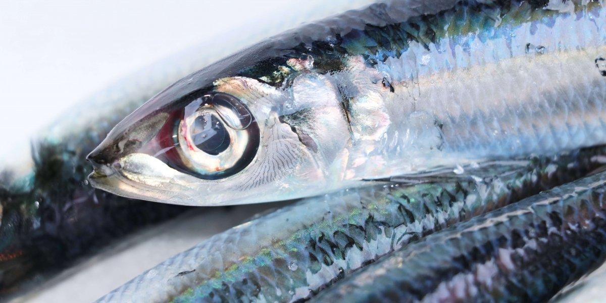 土佐の一本釣りうるめ鰯 【鮮魚】